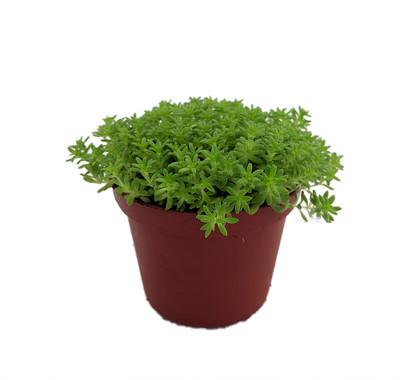 "Fine Green Leaf Sedum - Stonecrop - Fairy Garden - Indoors/Out - 2.5"" Pot"