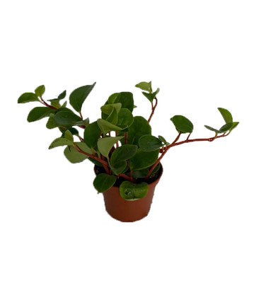 "Yerba Linda Plant - Peperomia Cubensis - 2.5"" Pot - Easy to Grow"
