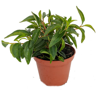 "Canoe Bush Peperomia Plant - 2.5"" Pot - Easy to Grow!"