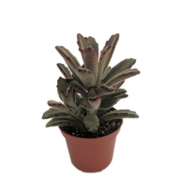 """Chocolate Soldier Plant - Kalanchoe tomentosa - 2.5"""" - Easy to Grow Succulent"""