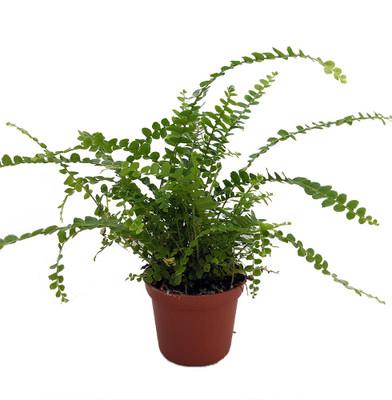 "Lemon Button Fern - 2.5"" Pot - Nephrolepis cordifolia Duffii - Easy to Grow Fern"