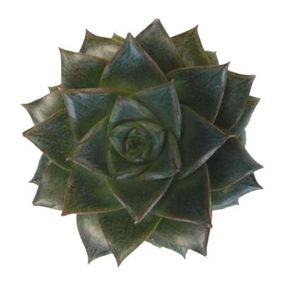 """Purple Desert Rose - Echeveria purpureum - Easy to Grow Succulent - 2.5"""" Pot"""