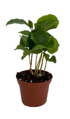 "Coffee Bean Plant - 2.5"" Pot - Coffee Arabica"