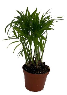 """SUPER SALE - Victorian Parlor Palm - Neanthe Bella Palm - 2.5"""" Pot"""