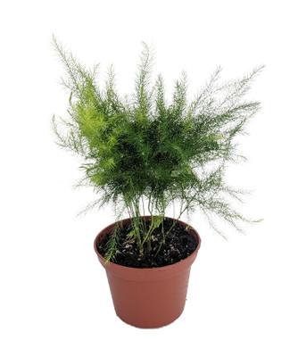 """Egyptian Pyramid Fern - Asparagus pyramidalis - 2.5"""" Pot - Easy to Grow - Great Houseplant"""