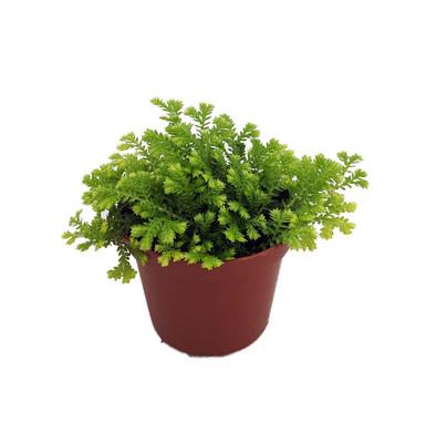 """Gold Spikemoss - Selaginella kraussiana aurea - Terrarium/Fairy Garden- 2.5"""" Pot"""