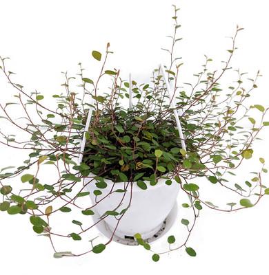 "Biblical Angel Vine - Muehlenbeckia -Easy to Grow Houseplant-6"" Hanging Basket"