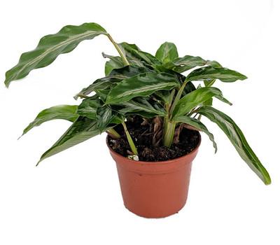 "Mini Prayer Plant - Calathea Gay Feather -World's Smallest Prayer Plant-2.5"" Pot"