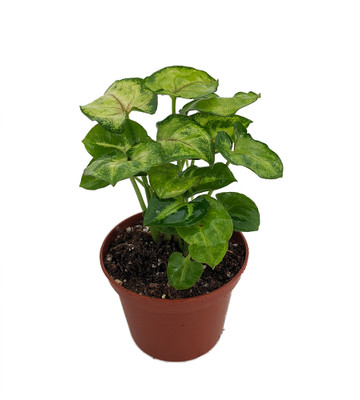 "Creamsicle Plant - Syngonium - Nepthytis - 2.5"" Pot - Easy to Grow House Plant"