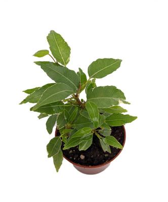 "Nicole Weeping Fig Tree - Ficus benjamina - Easy to Grow - 2.5"" Pot"