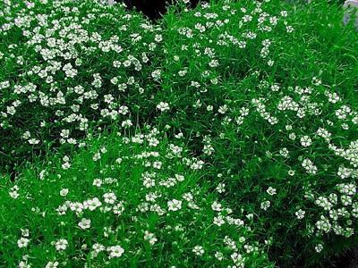 """Irish Moss - Sagina Subulata - Very Hardy Groundcover - 2.5"""" Pot"""