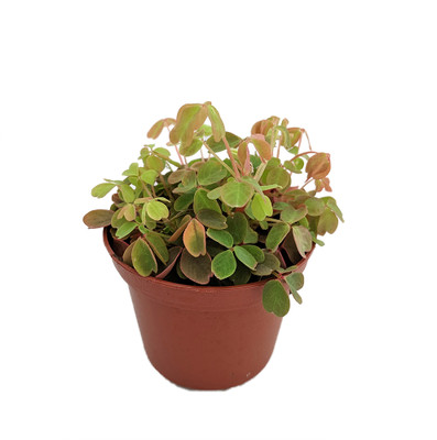 "Coppertones Shamrock Plant - Oxalis -Indoors/Out - 2.5"" Pot"