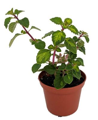 "Lemon Lime Kandy Kisses Plant - Hemizygia - 2.5"" Pot - Easy to Grow House Plant"