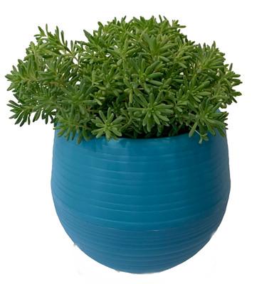 "Blue Ball Sedum Succulent Plant in 3"" All Blue Self-Watering Plant Pod"