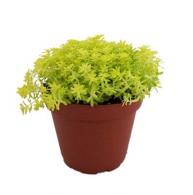 "Fine Gold Leaf Sedum - Stonecrop - Fairy Garden - Indoors/Out - 2.5"" Pot"