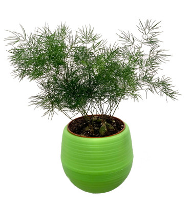 """Chinese Ming Fern in 3"""" All Green Self-Watering Plant Pod - Easy to Grow"""