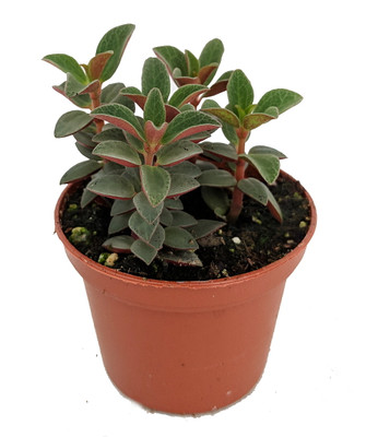 """Red Trailing Peperomia rubella - 2.5"""" Pot - Easy to Grow Succulent"""