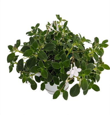 "Dancing Doves Cape Primrose Plant - Streptocarpella- Indoors/Out - Shade - 6"" HB"