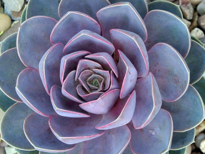 "Perle von Nurnberg Desert Rose - Echeveria  - Easy to Grow - 2.5"" Pot"