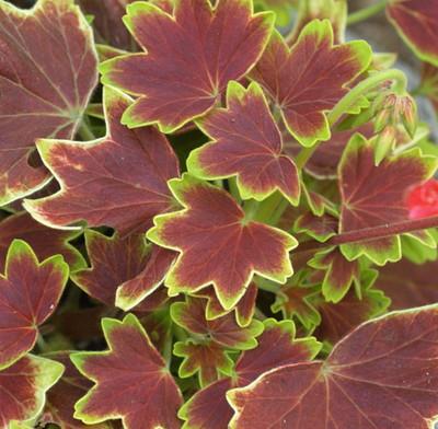 "Exotic Heirloom Vancouver Centennial Geranium - Inside/Out - 2.5"" Pot"