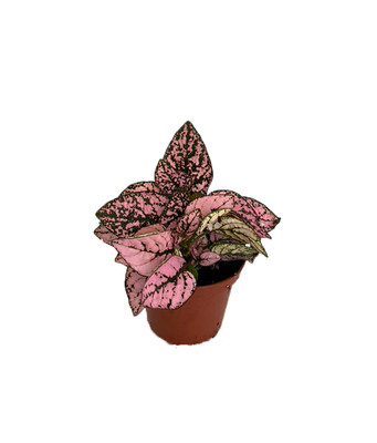 "Pink Splash Polka Dot Plant - Hypoestes - 2.5"" Pot - Colorful House Plant"