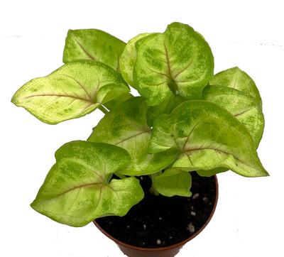 """Golden Arrowhead Plant - Syngonium - Nepthytis - 2.5"""" Pot - Easy to Grow"""