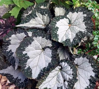 "Starry Night Begonia Plant - 3.7"" Pot - Terrarium/Fairy Garden/Houseplant/Bonsai"