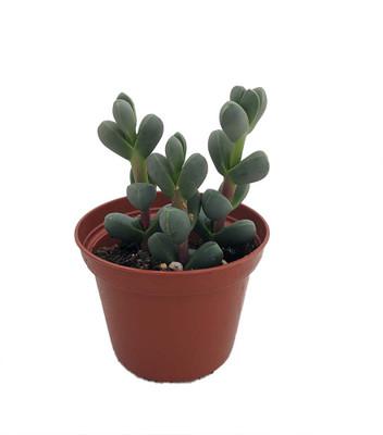 "Alien Ice Plant - Delosperma lehmanii - 2.5"" Pot - A Real Cool Succulent"