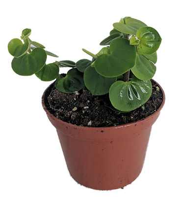 "Bitcoin Chinese Money Plant -  Peperomia coin - 2.5"" Pot - Easy to Grow"