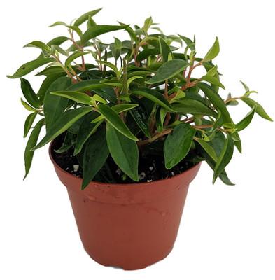 "Canoe Bush Peperomia Plant - 3.75"" Pot - Easy to Grow House Plant"