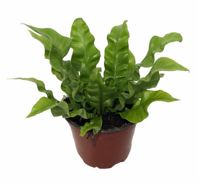 "Crispy Wave Fern - 4"" Pot - Asplenium -Clean Air Machine/Easy to Grow Houseplant"
