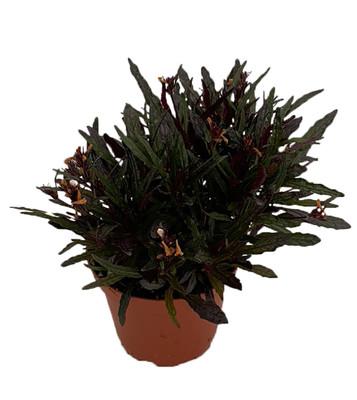 "Dragon's Tongue Plant - Hemigraphis - Terrarium/FairyGarden/Houseplant- 3.7"" Pot"