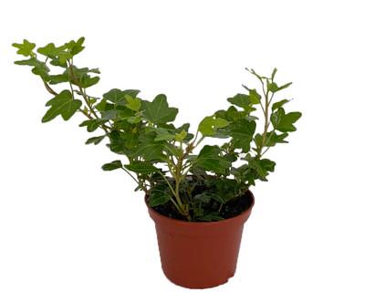 """Duckfoot Ivy - Hedera - 2.5"""" Pot - Easy to Grow, Indoors"""