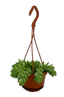 "Burro's Tail Succulent - 4"" Mini Hanging Basket - Sedum morganianum - Easy to Grow"