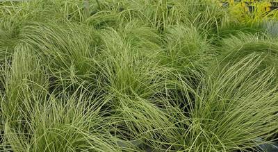 """Frosted Curls Sedge Grass - Carex comans - 4"""" Pot"""