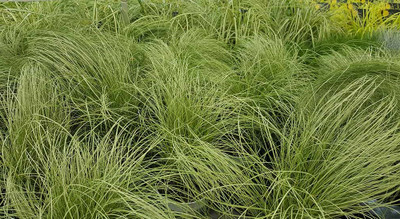 "Frosted Curls Sedge Grass - Carex comans - 4"" Pot"