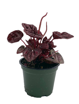 "Schumi Red Ripple Peperomia 4"" Pot  - Easy to Grow Houseplant"