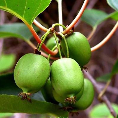 "Issai Kiwi Vine - Hardy - Self Fruitful Female Variety - Easy to Grow - 2.5"" Pot"