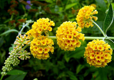 "Golden Glow Butterfly Bush - Buddleia - Fragrant - 4"" Pot"