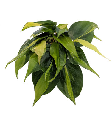 """Brazil Philodendron 4"""" Pot - Easy to Grow - Low Light"""
