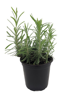 "English Lavender Herb - Perennial - Very Fragrant /Refreshing/Calming - 4"" Pot"
