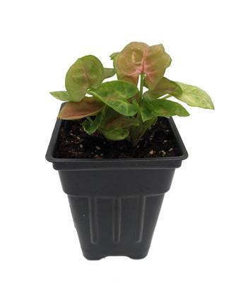 "Candy Arrowhead Plant - Syngonium - Nepthytis - 2.5"" Pot - Fairy Garden"