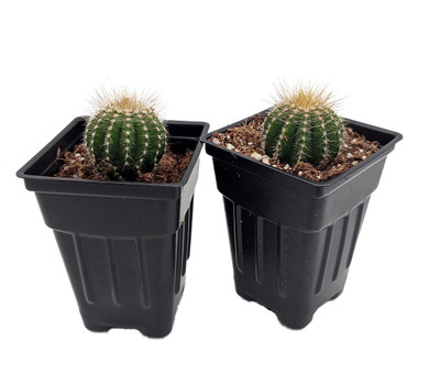 "Beauty Barrel Cactus - 2 Pack - 2.5"" Pots - Easy to Grow"
