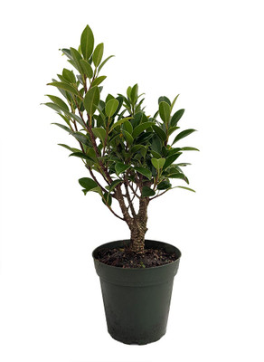 """Golden Gate Tiger Bark Weeping Fig - Ficus Microcarpa - 4"""" Pot -Easy House Plant"""