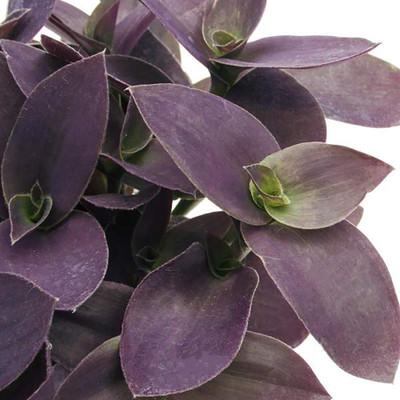"Fuzzy Purple Wandering Jew - 2.5"" Pot - Tradescantia - Easy to Grow House Plant"