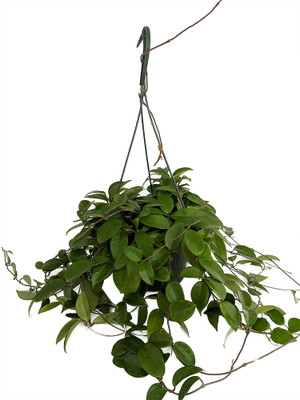 "Green Wax Plant - Hoya - Great House Plant - 8"" Hanging Basket"