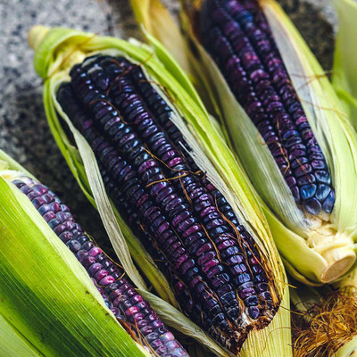 Hopi Blue Flour Corn - 100 Seeds