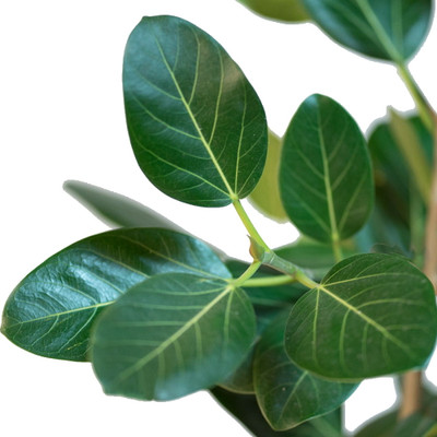 "Audrey Indian Banyon Fig Tree - Ficus benghalensis - 4"" Pot - Easy to Grow"