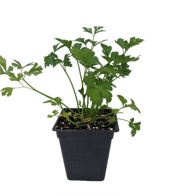 "Flat Leaf Italian Parsley - Favored by Chefs! - Live Plant - 3"" Pot"