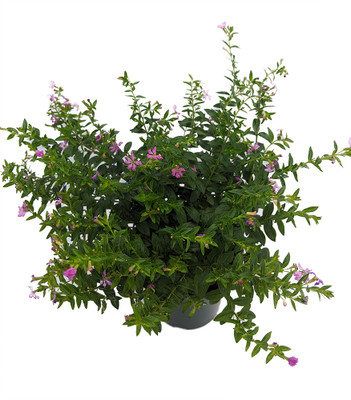 """Mexican Heather Plant - Cuphea hyssopifolia - Indoors or Out - 4.5"""" Pot"""